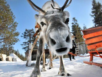 Финляндия, Лапландия, олень